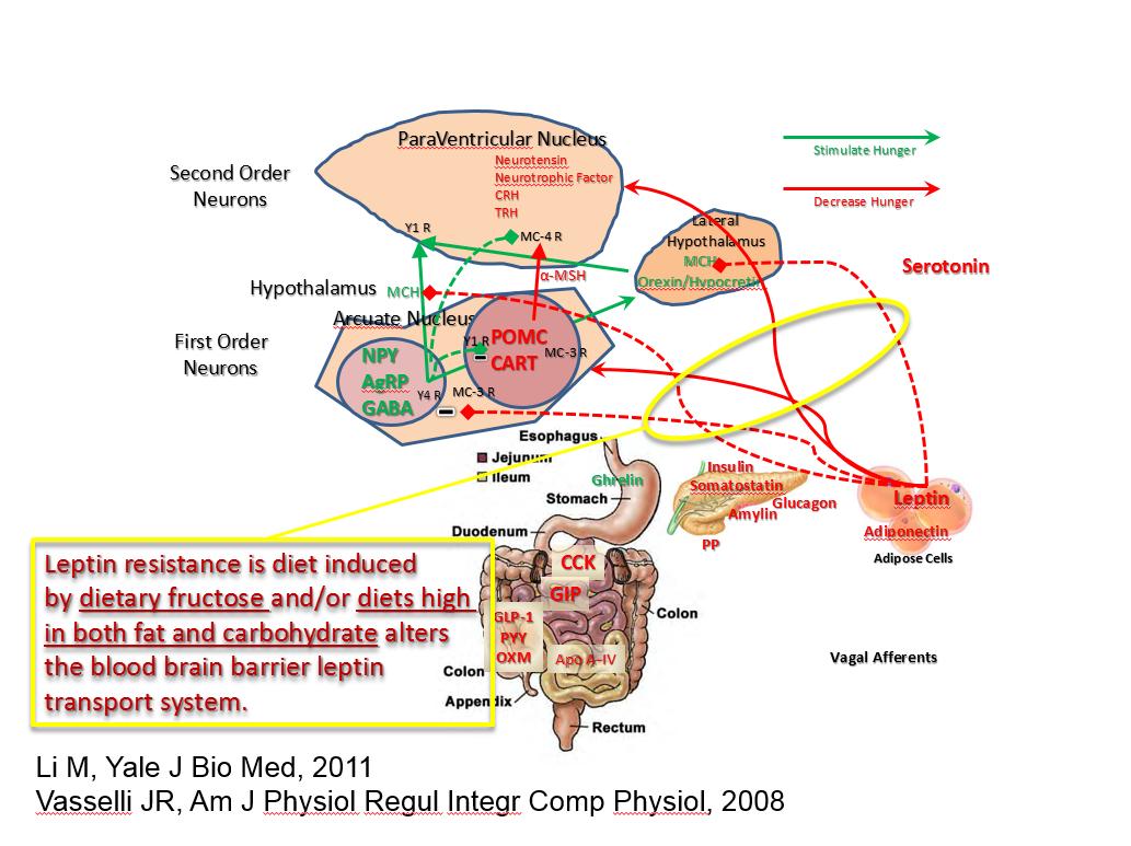Hantaran Sinyal Leptin dan Obesitas: Hubungannya dengan Penyakit Kardiovaskuler